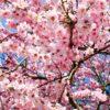 上野公園の桜2018!!都内随一の花見の名所!!開花予想&ライトアップ情報!!